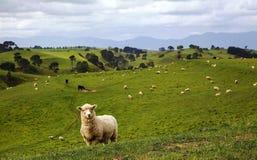 Manada de ovejas en prado hermoso de la montaña Fotografía de archivo libre de regalías