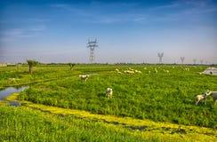 Manada de ovejas en prado hermoso de la montaña Foto de archivo libre de regalías