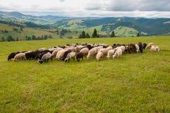 Manada de ovejas en prado hermoso de la montaña Fotos de archivo libres de regalías