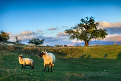 Manada de ovejas en prado hermoso de la montaña Fondo magnífico Imagen de archivo libre de regalías