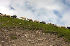 Manada de ovejas en prado hermoso del verano de la montaña Fotografía de archivo libre de regalías