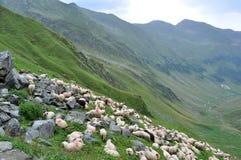 Manada de ovejas para arriba en la montaña Foto de archivo libre de regalías