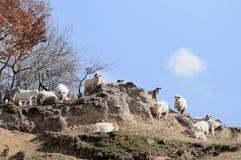 Manada de ovejas y de cabras Fotografía de archivo libre de regalías