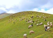 Manada de pastar sheeps Imágenes de archivo libres de regalías