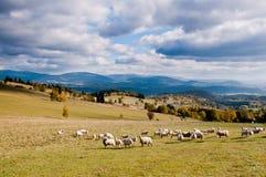 Manada de sheeps en las montañas del otoño Fotos de archivo libres de regalías