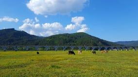 Manada de vacas Imagen de archivo libre de regalías