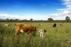 Manada de vacas. Fotos de archivo