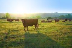 Manada de vacas Fotografía de archivo libre de regalías
