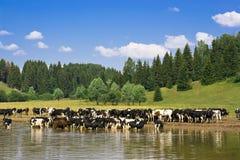 Manada de vacas Foto de archivo