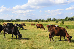 Manada de vacas Fotos de archivo