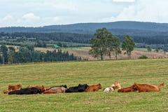 Manada de vacas imagen de archivo