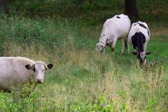 Manada de vacas Fotografía de archivo