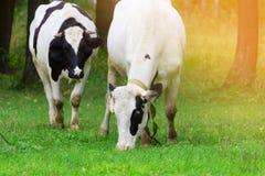 Manada de vacas Imágenes de archivo libres de regalías