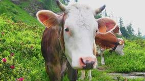 Manada de vacas alpinas con los cencerros