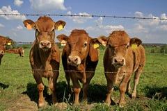 Manada de vacas curiosas en campo Imagenes de archivo