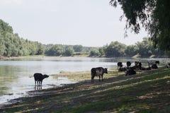 Manada de vacas del lado del río Fotos de archivo