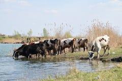 Manada de vacas en el agujero de riego rodeado por la hierba verde y las cañas Fotos de archivo libres de regalías