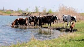 Manada de vacas en el agujero de riego rodeado por la hierba verde y las cañas almacen de video