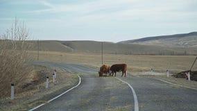 Manada de vacas en el camino en estepa: vacas en el pasto parado en el camino metrajes