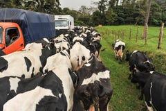 Manada de vacas en el camino que bloquea tráfico Fotos de archivo