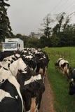 Manada de vacas en el camino que bloquea tráfico Fotografía de archivo libre de regalías