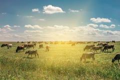 Manada de vacas en un campo con el sol que sube en el fondo foto de archivo