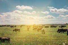 Manada de vacas en un campo con el sol que sube en el fondo imagen de archivo libre de regalías