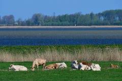 Manada de vacas imagenes de archivo