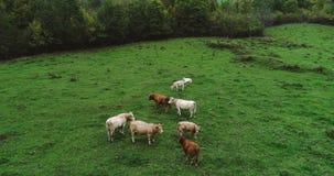 Manada de vacas en un prado Foto de archivo
