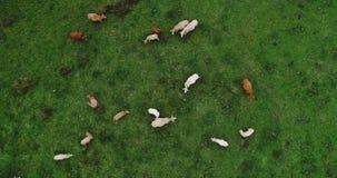 Manada de vacas en un prado Fotos de archivo