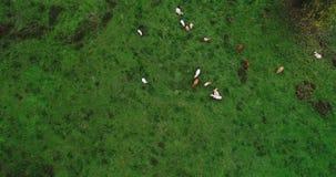 Manada de vacas en un prado Imágenes de archivo libres de regalías