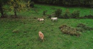 Manada de vacas en un prado Fotografía de archivo libre de regalías