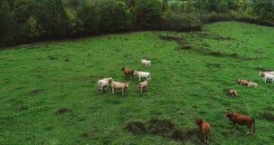 Manada de vacas en un prado Fotografía de archivo
