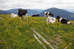 Manada de vacas entre un campo de flores amarillas Fotografía de archivo libre de regalías