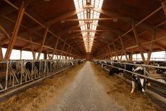 Manada de vacas jovenes en establo fotografía de archivo libre de regalías