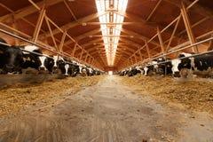 Manada de vacas jovenes en establo foto de archivo