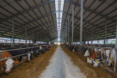 Manada de vacas jovenes en establo imagen de archivo