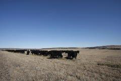 Manada de vacas negras Fotos de archivo libres de regalías