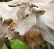 Manada de vacas y de la ternera en los Pirineos Imagenes de archivo