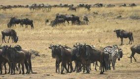 Manada del ñu en el río de Mara en Masai Mara, Kenia almacen de metraje de vídeo