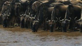 Manada del ñu que bebe del río de Mara, Kenia almacen de metraje de vídeo