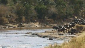Manada del ñu que busca un lugar que cruza en Mara River en Masai Mara metrajes