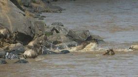 Manada del ñu que salta en el río de Mara en reserva del juego de Mara del masai almacen de video
