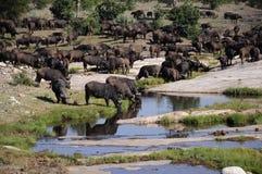 Manada del búfalo fotos de archivo