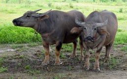 Manada del búfalo Imagen de archivo