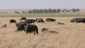 Manada del búfalo del cabo en reserva del juego de Mara del masai almacen de metraje de vídeo