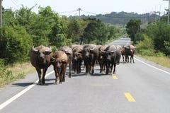 Manada del búfalo de agua Imágenes de archivo libres de regalías