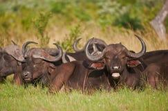 Manada del búfalo de cabo que miente en el arbusto africano Fotos de archivo