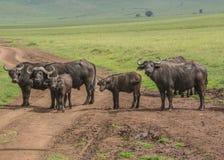 Manada del búfalo del cabo Fotografía de archivo