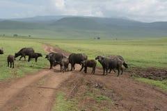 Manada del búfalo del cabo Imagen de archivo libre de regalías